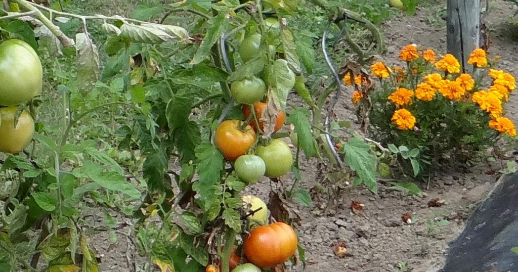 oeillet d'inde tomate
