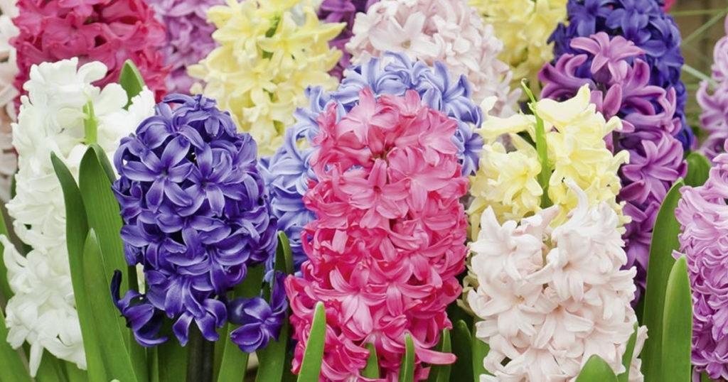 jacinthe fleurie