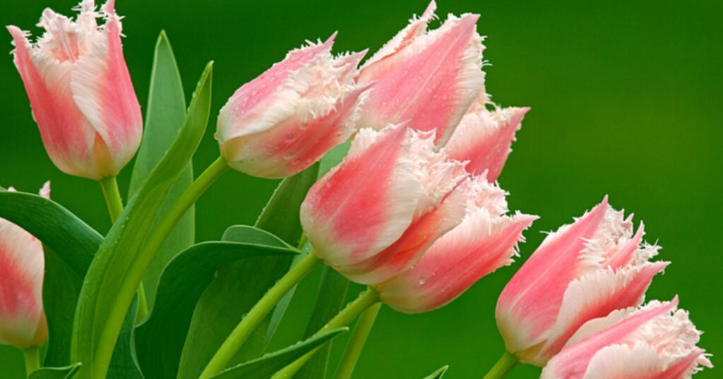 des tulipes perroquet