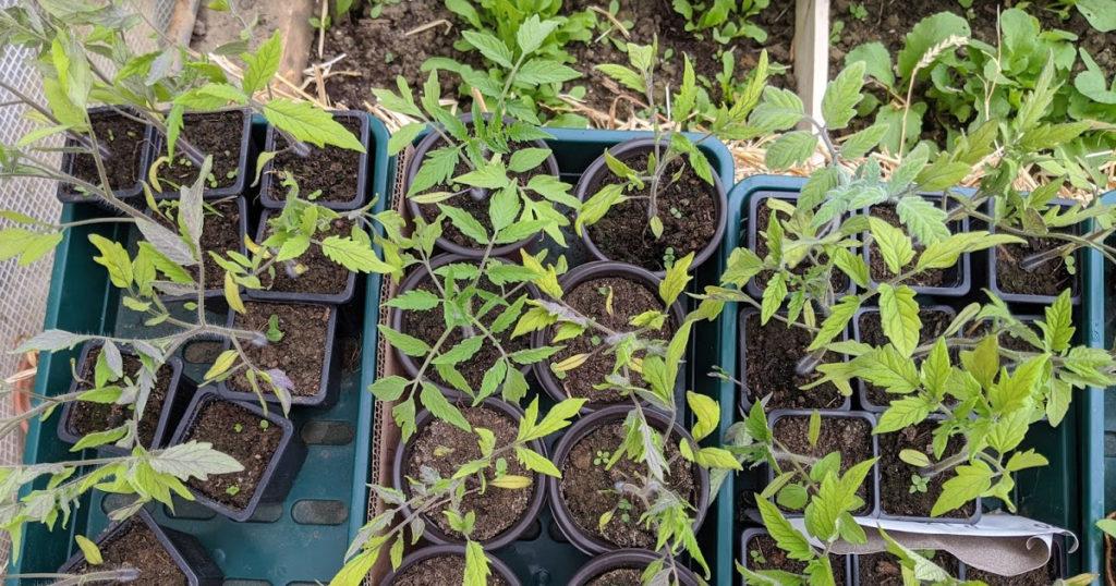 tomate feuilles jaunes