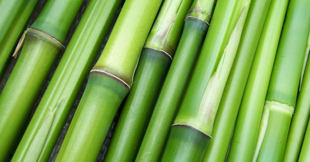 bambou bien vert