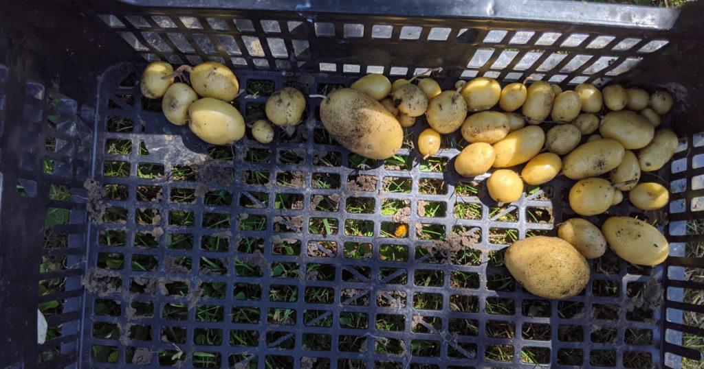 récolte de pomme de terre
