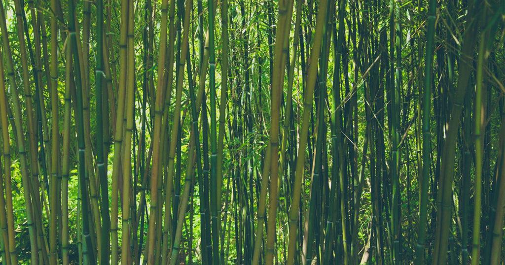 haie naturelle bambous