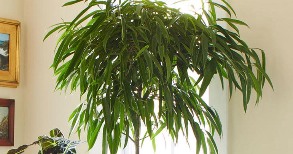 Ficus à longues feuilles