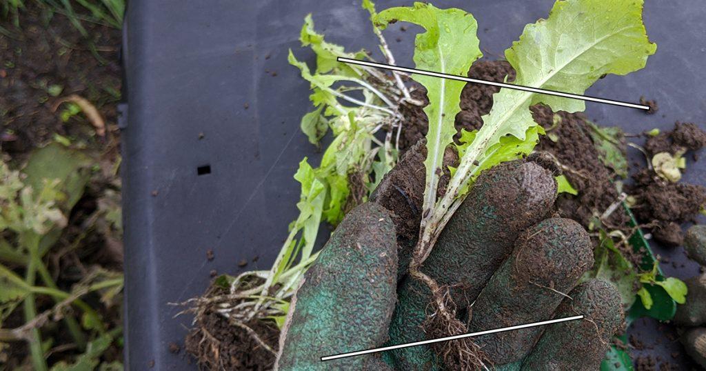 couper racines et feuilles