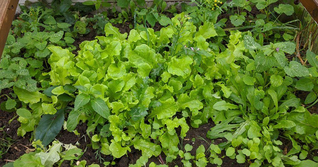 nouveau semi de salades