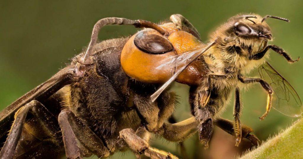 frelon asiatique qui attaque une abeille