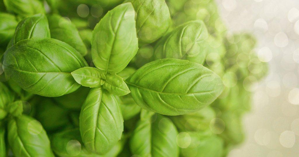 soin du basilic pour avoir de belles feuilles