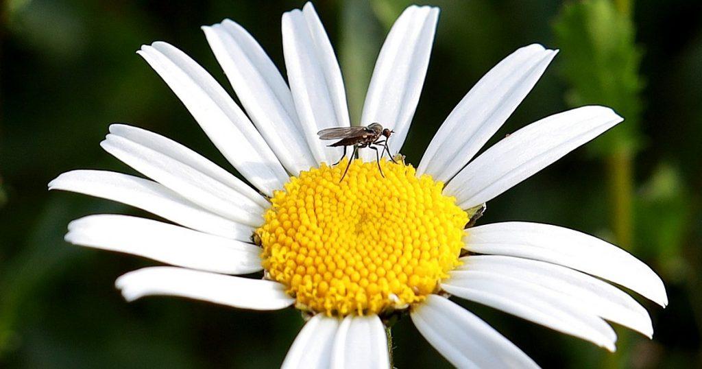 marguerite et moustique