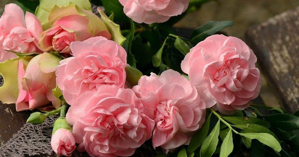 rose en train de sécher