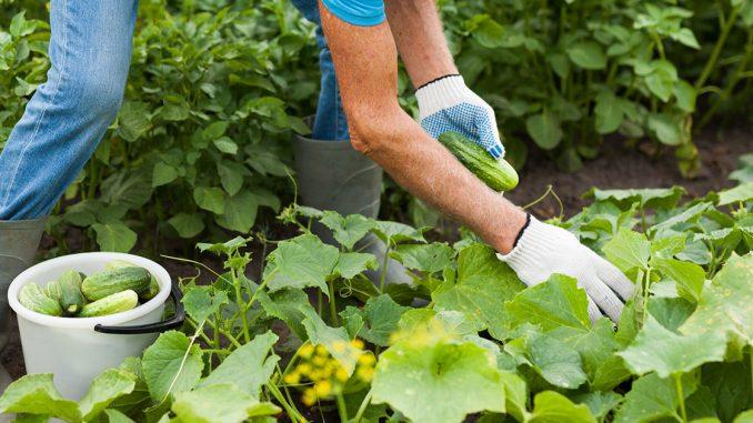 cultiver le concombre
